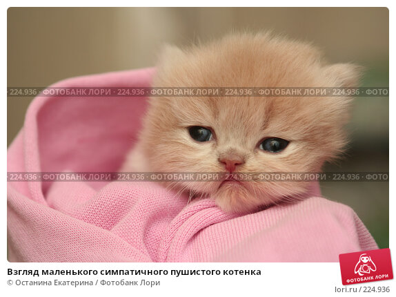 Взгляд маленького симпатичного пушистого котенка, фото № 224936, снято 4 марта 2008 г. (c) Останина Екатерина / Фотобанк Лори