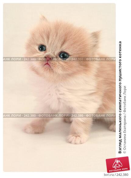 Взгляд маленького симпатичного пушистого котенка, фото № 242380, снято 17 марта 2008 г. (c) Останина Екатерина / Фотобанк Лори