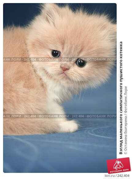 Взгляд маленького симпатичного пушистого котенка, фото № 242404, снято 18 марта 2008 г. (c) Останина Екатерина / Фотобанк Лори