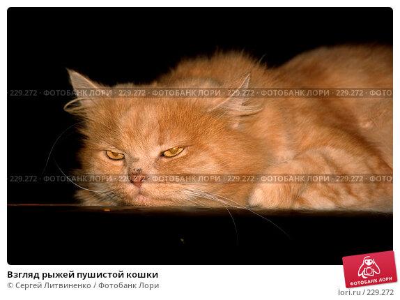 Взгляд рыжей пушистой кошки, фото № 229272, снято 23 декабря 2007 г. (c) Сергей Литвиненко / Фотобанк Лори