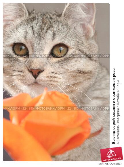 Взгляд серой кошки и оранжевая роза, фото № 224880, снято 28 января 2008 г. (c) Останина Екатерина / Фотобанк Лори