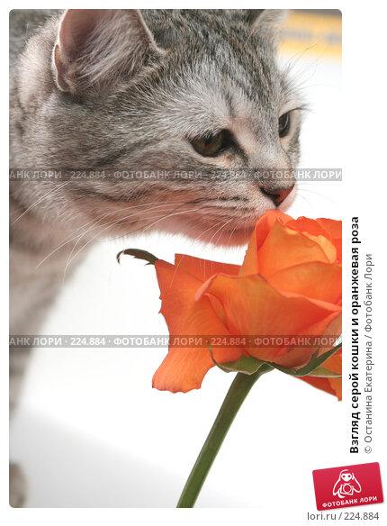 Взгляд серой кошки и оранжевая роза, фото № 224884, снято 28 января 2008 г. (c) Останина Екатерина / Фотобанк Лори