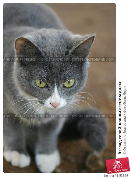 Взгляд серой  кошки летним днем, фото № 115316, снято 9 ноября 2005 г. (c) Останина Екатерина / Фотобанк Лори