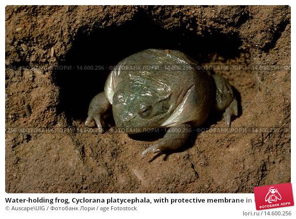 Купить «Water-holding frog, Cyclorana platycephala, with protective membrane in underground chamber, Central Australia», фото № 14600256, снято 19 ноября 2019 г. (c) age Fotostock / Фотобанк Лори