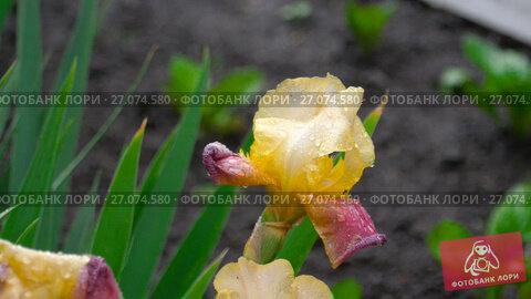 Купить «Wet yellow-purple iris under rain», видеоролик № 27074580, снято 28 сентября 2017 г. (c) Игорь Жоров / Фотобанк Лори