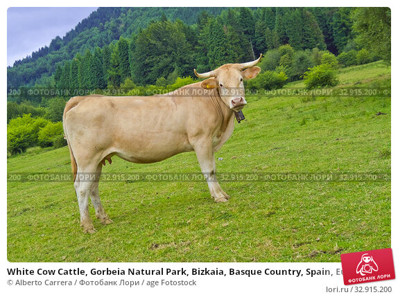 White Cow Cattle, Gorbeia Natural Park, Bizkaia, Basque Country, Spain, Europe. Стоковое фото, фотограф Alberto Carrera / age Fotostock / Фотобанк Лори