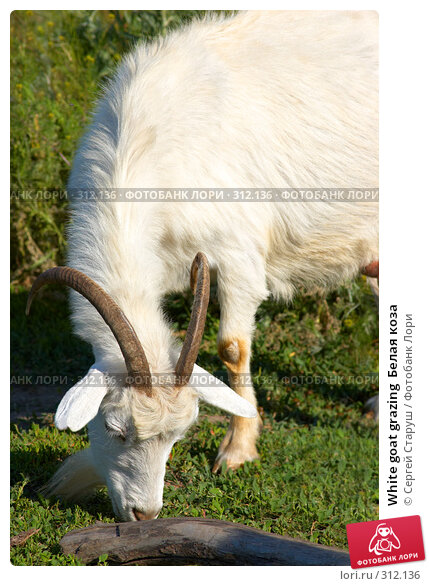 White goat grazing  Белая коза, фото № 312136, снято 4 июня 2008 г. (c) Сергей Старуш / Фотобанк Лори
