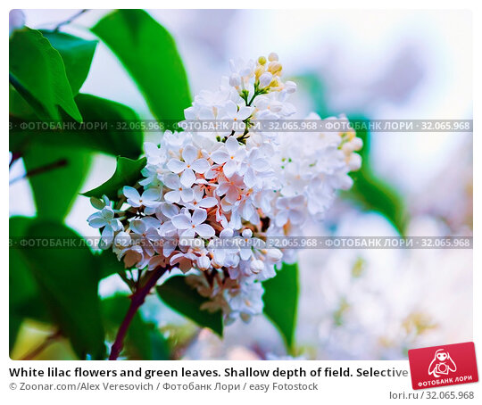 White lilac flowers and green leaves. Shallow depth of field. Selective focus. Стоковое фото, фотограф Zoonar.com/Alex Veresovich / easy Fotostock / Фотобанк Лори