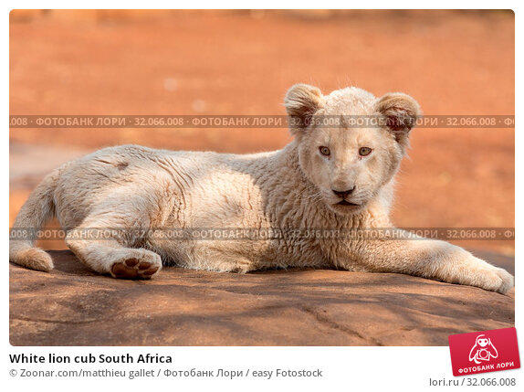 White lion cub South Africa. Стоковое фото, фотограф Zoonar.com/matthieu gallet / easy Fotostock / Фотобанк Лори