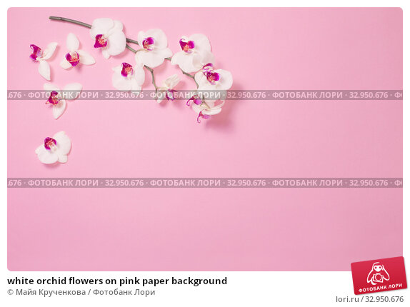 white orchid flowers on pink paper background. Стоковое фото, фотограф Майя Крученкова / Фотобанк Лори
