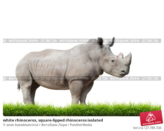 Купить «white rhinoceros, square-lipped rhinoceros isolated», фото № 27785720, снято 20 февраля 2018 г. (c) PantherMedia / Фотобанк Лори