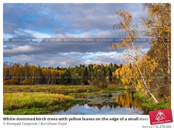 Купить «White-stemmed birch trees with yellow leaves on the edge of a small river», фото № 32270600, снято 5 октября 2019 г. (c) Валерий Смирнов / Фотобанк Лори