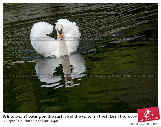 Купить «White swan floating on the surface of the water in the lake in the woods», фото № 26815896, снято 28 августа 2016 г. (c) Сергей Панкин / Фотобанк Лори