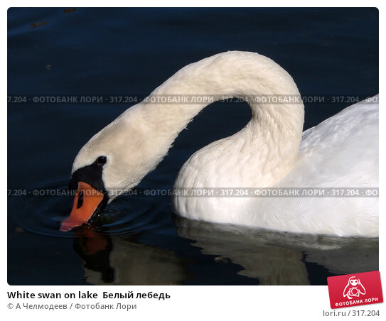 White swan on lake  Белый лебедь, фото № 317204, снято 17 сентября 2006 г. (c) A Челмодеев / Фотобанк Лори