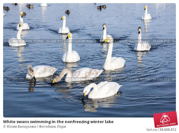 White swans swimming in the nonfreezing winter lake. Стоковое фото, фотограф Юлия Белоусова / Фотобанк Лори