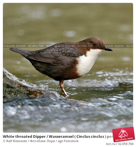 White throated Dipper / Wasseramsel ( Cinclus cinclus ) perched on a rock, searching for food in the fast flowing water of a mountain creek, wildlife, Europe. Стоковое фото, фотограф Ralf Kistowski / age Fotostock / Фотобанк Лори