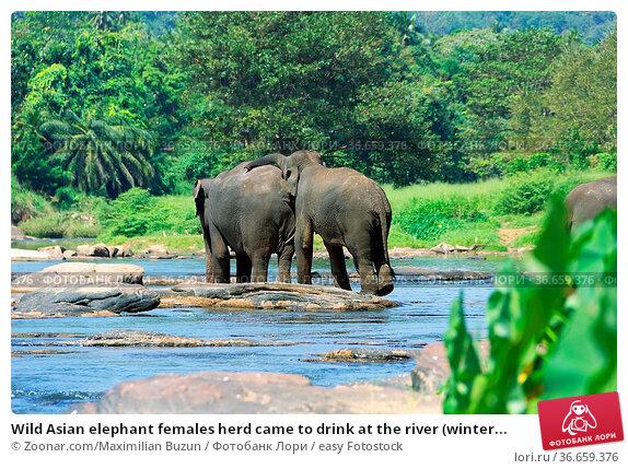 Wild Asian elephant females herd came to drink at the river (winter... Стоковое фото, фотограф Zoonar.com/Maximilian Buzun / easy Fotostock / Фотобанк Лори