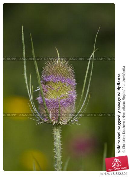 Купить «wild teasel haggardly savage wildpflanze», фото № 8522304, снято 23 марта 2019 г. (c) PantherMedia / Фотобанк Лори