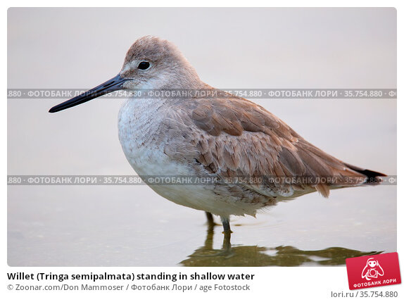 Willet (Tringa semipalmata) standing in shallow water. Стоковое фото, фотограф Zoonar.com/Don Mammoser / age Fotostock / Фотобанк Лори