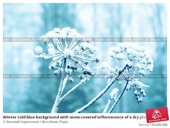 Купить «Winter cold blue background with snow-covered inflorescence of a dry plant», фото № 29400640, снято 2 ноября 2018 г. (c) Евгений Харитонов / Фотобанк Лори