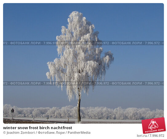 birch and frost 'royal frost®' birch was selected for its burgundy-red summer foliage that contrast beautifully with the crisp white bark has a gracefully upright, yet slightly pendulous habit.