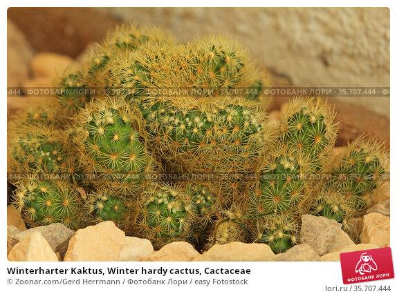 Winterharter Kaktus, Winter hardy cactus, Cactaceae. Стоковое фото, фотограф Zoonar.com/Gerd Herrmann / easy Fotostock / Фотобанк Лори