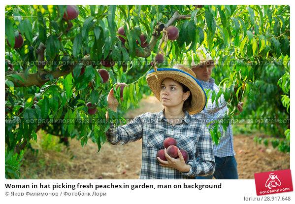 Купить «Woman in hat picking fresh peaches in garden, man on background», фото № 28917648, снято 11 июля 2018 г. (c) Яков Филимонов / Фотобанк Лори