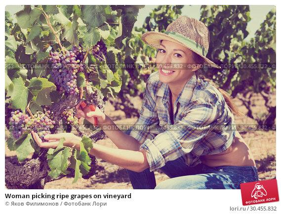 Woman picking ripe grapes on vineyard. Стоковое фото, фотограф Яков Филимонов / Фотобанк Лори