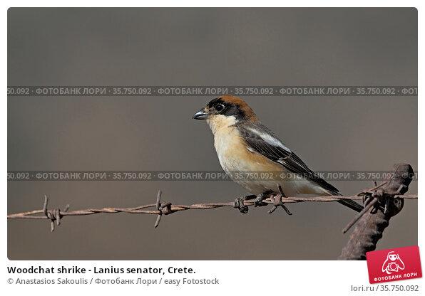 Woodchat shrike - Lanius senator, Crete. Стоковое фото, фотограф Anastasios Sakoulis / easy Fotostock / Фотобанк Лори