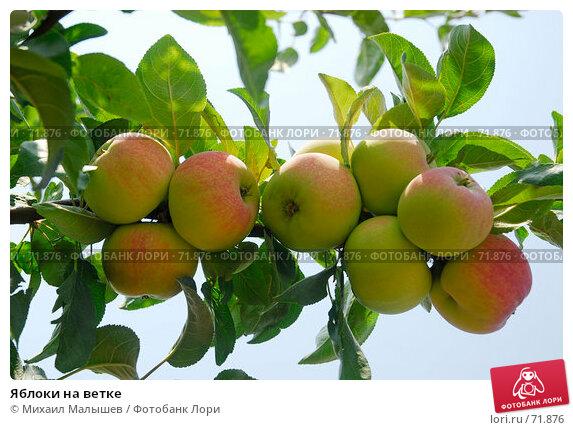 Купить «Яблоки на ветке», фото № 71876, снято 26 июля 2007 г. (c) Михаил Малышев / Фотобанк Лори