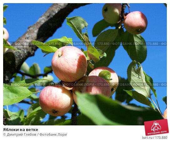 Яблоки на ветке, фото № 173880, снято 7 января 2004 г. (c) Дмитрий Глебов / Фотобанк Лори
