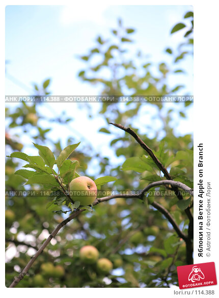 Купить «Яблоки на Ветке Apple on Branch», фото № 114388, снято 6 августа 2007 г. (c) Astroid / Фотобанк Лори