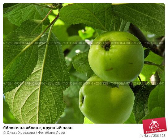 Яблоки на яблоне, крупный план, фото № 236128, снято 29 июля 2007 г. (c) Ольга Хорькова / Фотобанк Лори