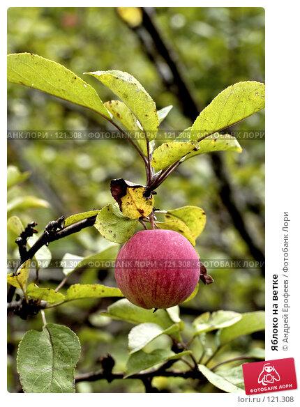 Яблоко на ветке, фото № 121308, снято 15 сентября 2007 г. (c) Андрей Ерофеев / Фотобанк Лори