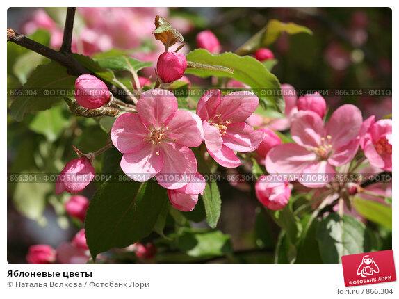Купить «Яблоневые цветы», фото № 866304, снято 15 мая 2009 г. (c) Наталья Волкова / Фотобанк Лори