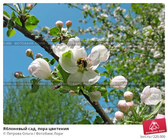 Яблоневый сад, пора цветения, фото № 220000, снято 14 мая 2006 г. (c) Петрова Ольга / Фотобанк Лори