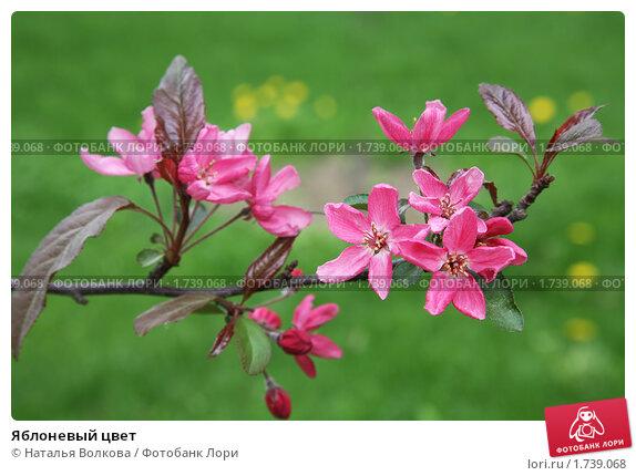 Яблоневый цвет, фото № 1739068, снято 11 мая 2010 г. (c) Наталья Волкова / Фотобанк Лори