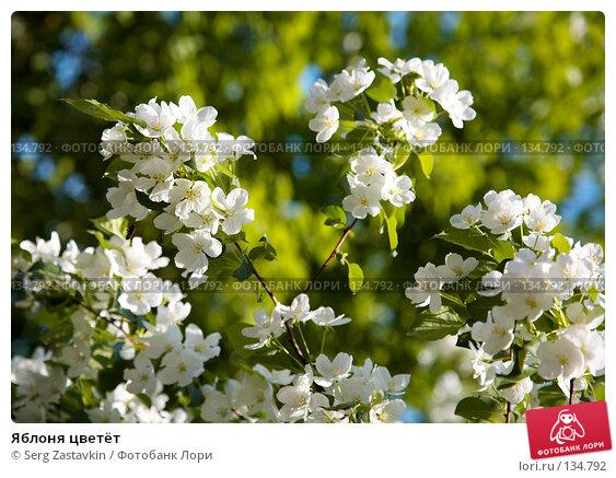 Купить «Яблоня цветёт», фото № 134792, снято 5 июня 2006 г. (c) Serg Zastavkin / Фотобанк Лори