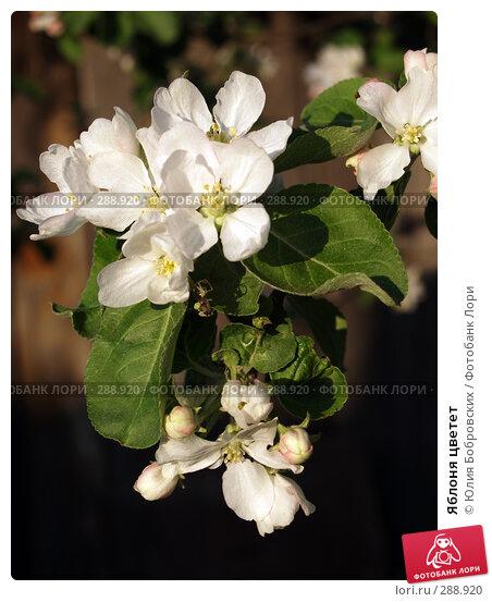 Купить «Яблоня цветет», фото № 288920, снято 17 мая 2008 г. (c) Юлия Бобровских / Фотобанк Лори
