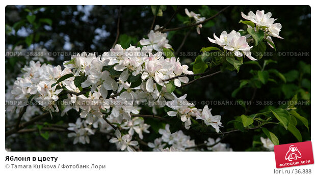 Купить «Яблоня в цвету», фото № 36888, снято 29 апреля 2007 г. (c) Tamara Kulikova / Фотобанк Лори