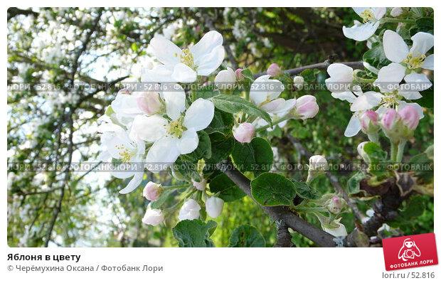 Яблоня в цвету, фото № 52816, снято 20 мая 2007 г. (c) Черёмухина Оксана / Фотобанк Лори