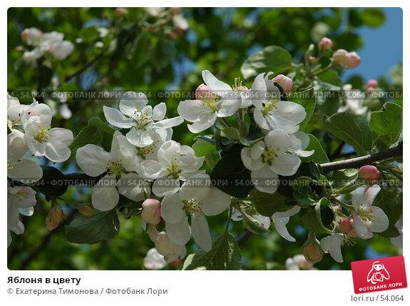 Яблоня в цвету, фото № 54064, снято 26 мая 2007 г. (c) Екатерина Тимонова / Фотобанк Лори