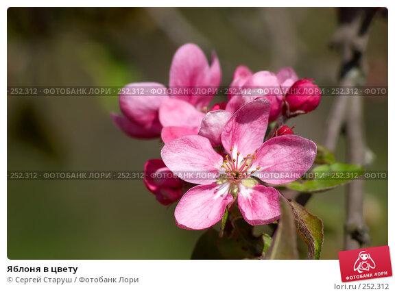 Яблоня в цвету, фото № 252312, снято 13 апреля 2008 г. (c) Сергей Старуш / Фотобанк Лори