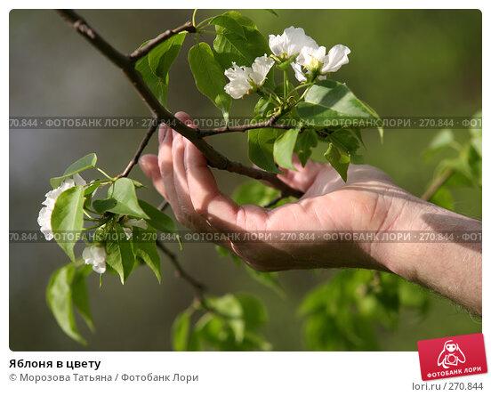 Яблоня в цвету, фото № 270844, снято 1 мая 2008 г. (c) Морозова Татьяна / Фотобанк Лори