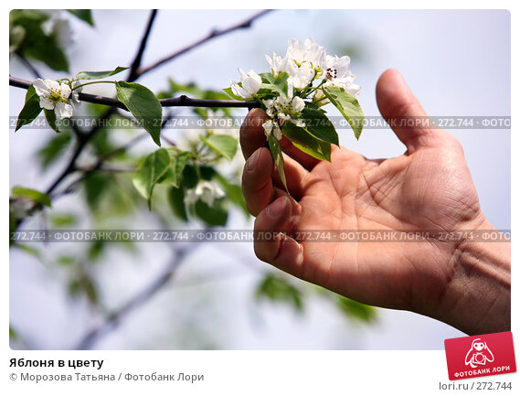 Купить «Яблоня в цвету», фото № 272744, снято 1 мая 2008 г. (c) Морозова Татьяна / Фотобанк Лори