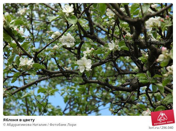 Яблоня в цвету, фото № 296040, снято 10 мая 2008 г. (c) Абдурагимова Наталия / Фотобанк Лори