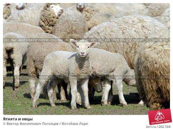 Ягнята и овцы, фото № 262164, снято 6 апреля 2006 г. (c) Виктор Филиппович Погонцев / Фотобанк Лори