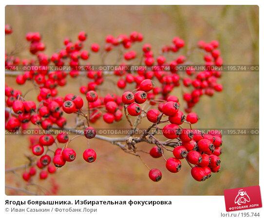 Ягоды боярышника. Избирательная фокусировка, фото № 195744, снято 13 ноября 2004 г. (c) Иван Сазыкин / Фотобанк Лори