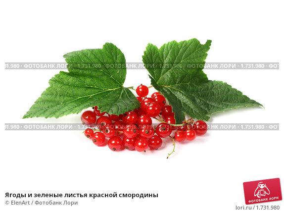Купить «Ягоды и зеленые листья красной смородины», фото № 1731980, снято 15 июля 2009 г. (c) ElenArt / Фотобанк Лори