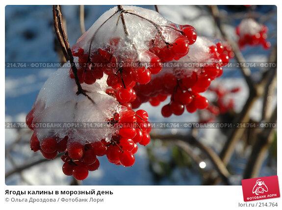 Ягоды калины в морозный день, фото № 214764, снято 29 октября 2005 г. (c) Ольга Дроздова / Фотобанк Лори
